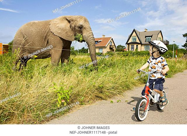 Boy on bicycle looking at elephant