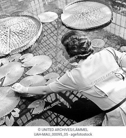 Eine Frau in einem Gewächshaus mit Seerosen in Stuttgart, Deutschland 1930er Jahre. A woman at a greenhouse watching water lilies at Stuttgart, Germany 1930s