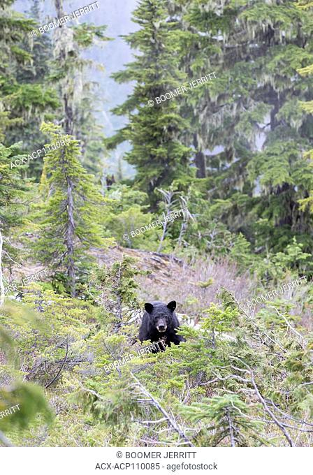 A young Black Bear investigates in brush surrounding our camp on Lee Plateau. Vancouver Island, British Columbia, Canada