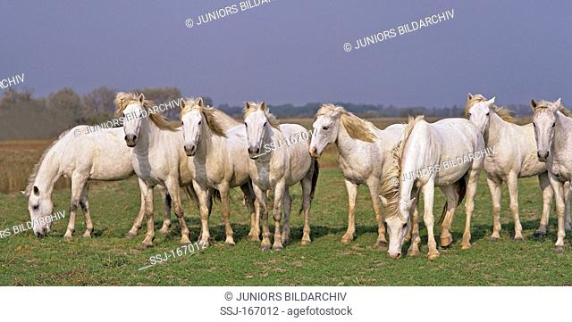 Camargue Horses on meadow