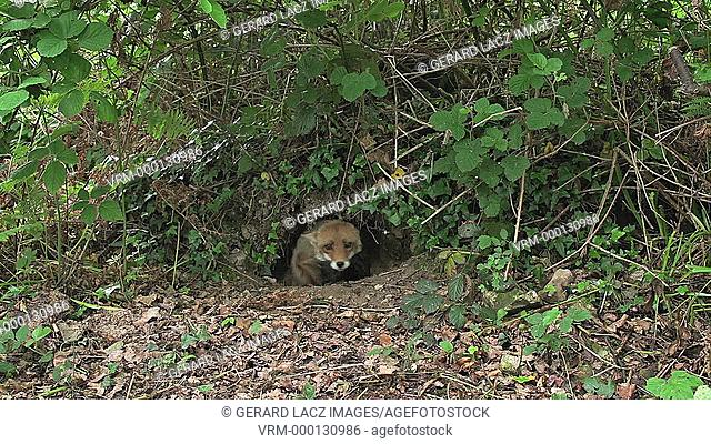 Red Fox, vulpes vulpes, Female emerging from Den, Normandy, Real Time