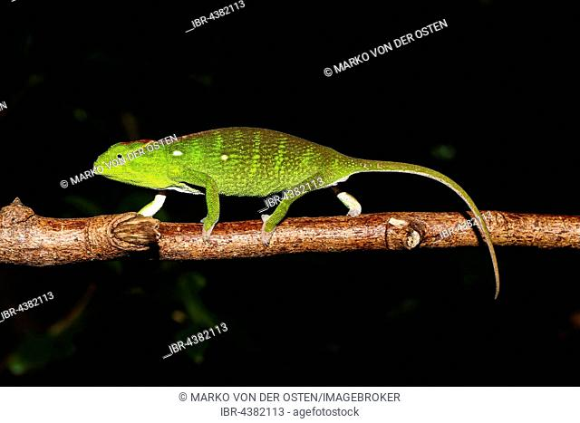 Petter's chameleon (Furcifer petteri), female, Ankarana National Park, Northwest Madagascar, Madagascar