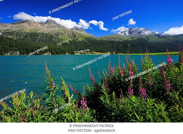 Alps, mountain, mountains, mountain lake, flowers, Lake Champfer, water, Lej Suol, Lej Suot, Lej da Champfer, Oberengadin, Upper Engadine, Piz Corvatsch