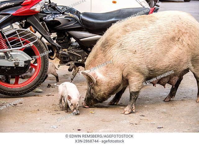 Johri Bazaar; Pigs eating trash off of street in Jaipur, India