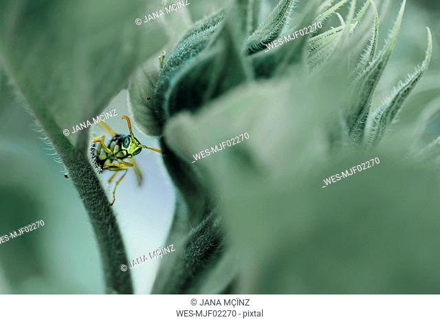 Male paper wasp on sunflower leaf