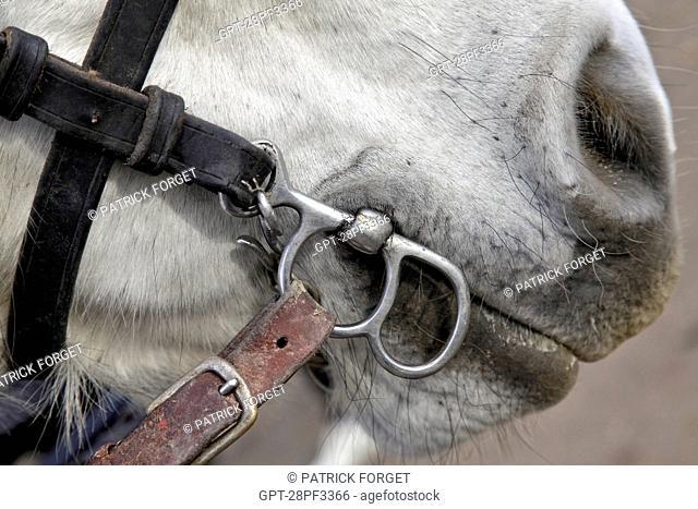 CLOSE-UP OF THE BIT IN A PERCHERON HORSE'S MOUTH, THE PERCHERON HORSE FESTIVAL OR SAINT MARTIN'S FAIR, LA BAZOCHE-GOUET, EURE-ET-LOIR 28, FRANCE