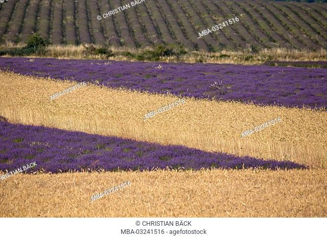 Lavender field near Ferrassières, Provence, Rhone Alpes, France