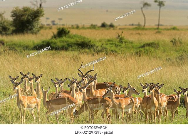 Scenic view of group of female impalas standing in soft evening light with male in centre, Maasai Mara, Kenya