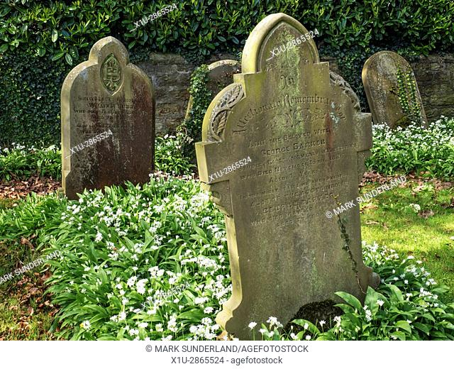 Old Gravestones and Wild Garlic Flowers at the Church of St Mary at Roecliffe near Boroughbridge Yorkshire England