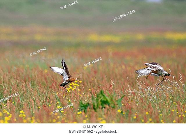 black-tailed godwit (Limosa limosa), godwits land in a meadow, Netherlands, Frisia
