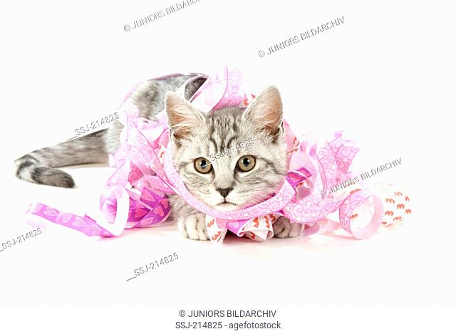 Domestic cat. Juvenile tomcat with paper streamers. Studio picture against a white background. Germany