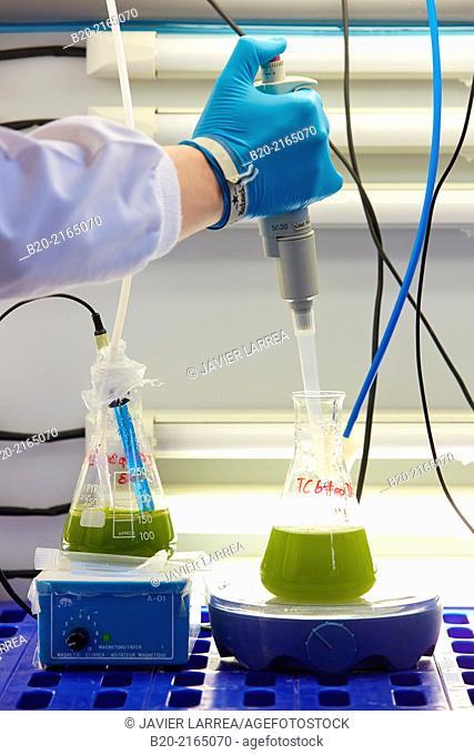 Algae culture. Algae biofuel research. Biotechnology Laboratory. Energy and Environment Division. Tecnalia Research and Innovation. Miñano. Alava