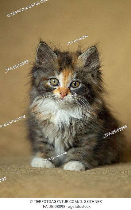 German Longhair Kitten