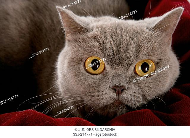 British Shorthair. Portrait of grey adult, seen against a black background. Germany