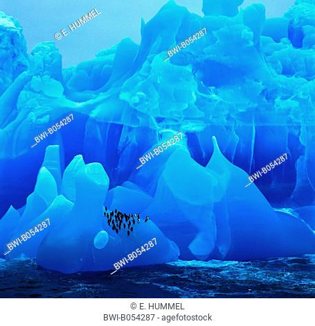 bearded penguin, chinstrap penguin (Pygoscelis antarctica, Pygoscelis antarcticus), blue iceberg with bearded penguins, Antarctica