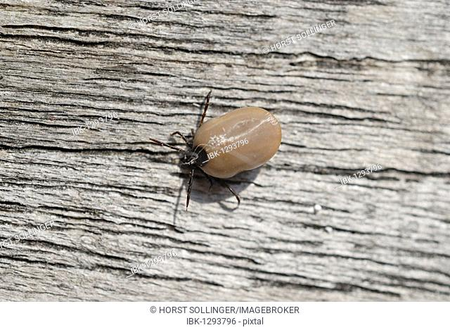 Sheep tick or castor bean tick (Ixodes ricinus) with full blood bag on withered wood