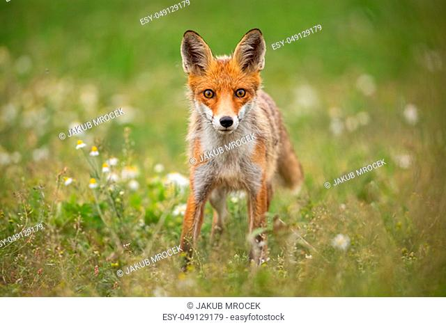 Young curious red fox, vulpes vulpes, on a summer meadow with flowers. Predator in wilderness. Horizontal orientation of wildlife scenery