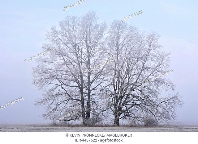 Trees with hoarfrost, fog in Lebaue, Middle Elbe Biosphere Reserve, Saxony-Anhalt, Germany