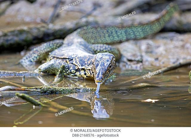 . WATER MONITOR LIZARD
