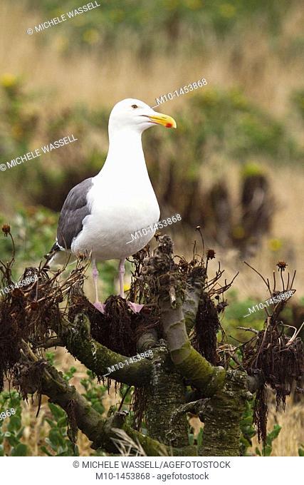 Sea Gull on Coreopsis