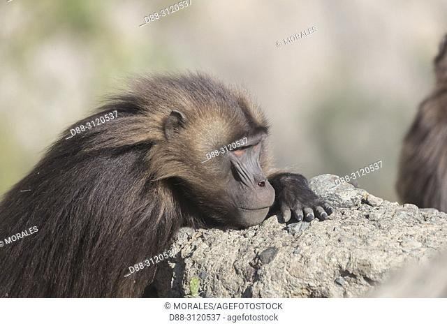 Africa, Ethiopia, Rift Valley, Debre Libanos, Gelada or Gelada baboon (Theropithecus gelada), dominant male, resting