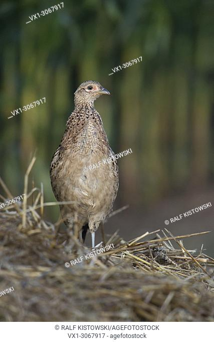 Female Ring-necked pheasant ( Phasianus colchicus ) stands on a pile of corn stubbles / in rural habitat looking around, wildlife, Europe