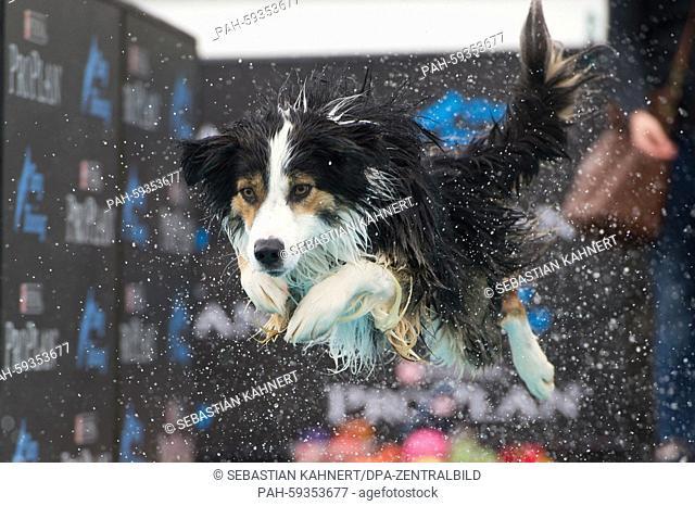 AnAustralian Shepherd jumps in a water trough during the dog longjump at the 13th Internationalen Rassehunde-Ausstellung (International Pedigree Dog Show)in...