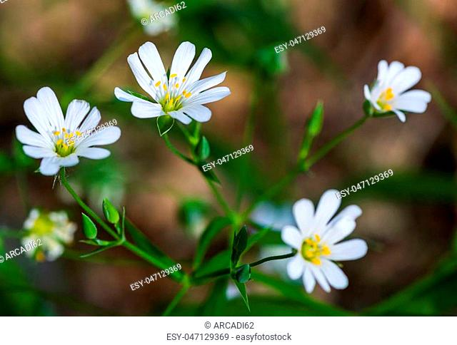 White flowers Stellaria (Stellaria holostea) close-up. plant grass in a green forest, meadow. herbal alternative medicine