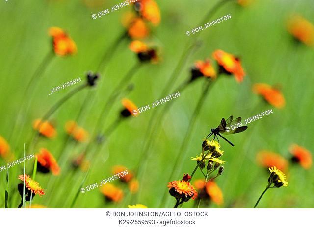 Ebony jewelwing (Calopteryx maculata) orange hawkweed, Greater Sudbury, Ontario, Canada