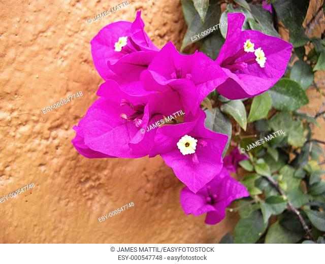 Purple-pinkish bouganvilla flowers against a stucco wall