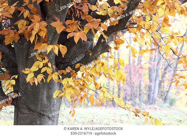 tree with autumn foliage in yellows and browns, lighted field and trees in background, soft lighting, muted colors - Monroe County, IN