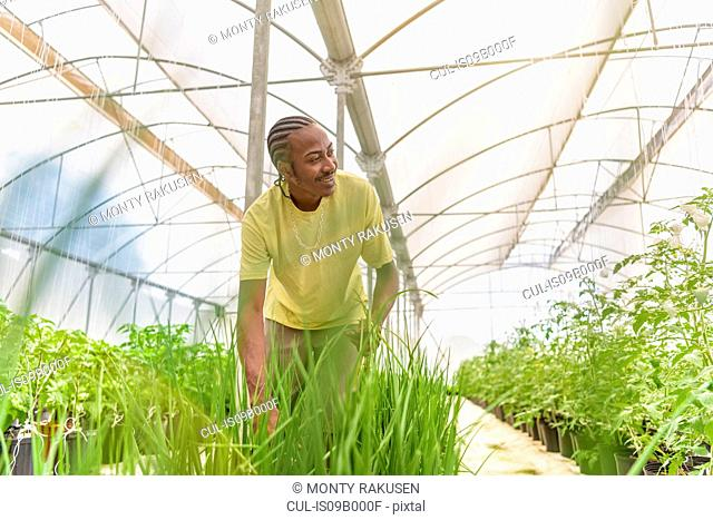 Worker picking chives in Hydroponic farm in Nevis, West Indies