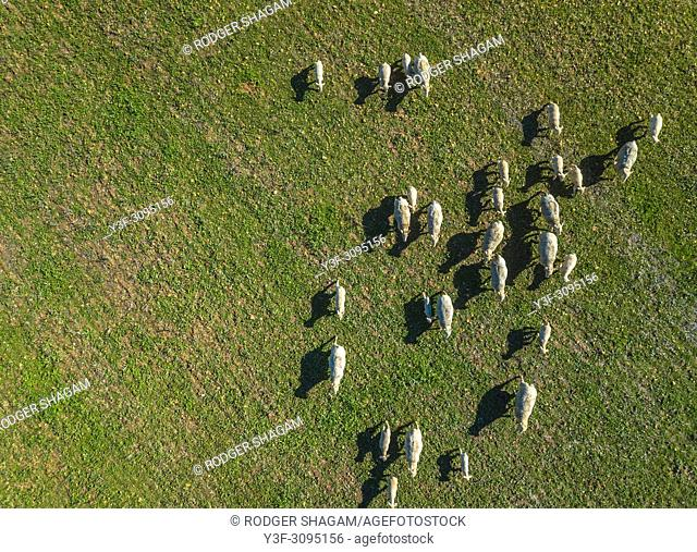 A flock of Merino sheep grazing in the meradow. Western Cape Province, South Africa