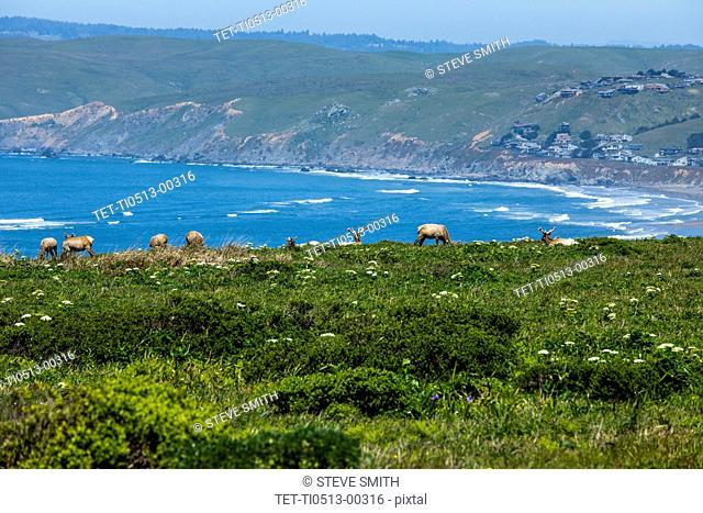 Elk grazing by sea in San Francisco, California, USA