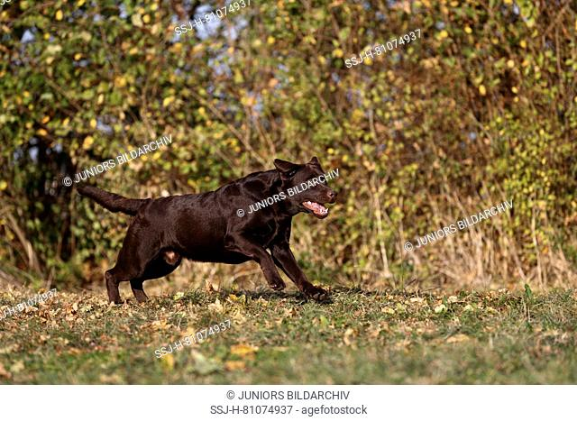 Labrador Retriever, Chocolate Labrador. Adult male running on a meadow. Germany