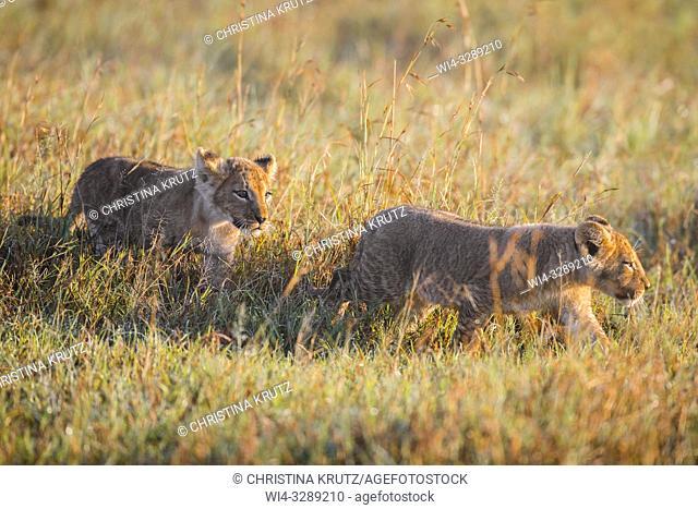 African Lion (Panthera leo) cubs in tall grass, Maasai Mara National Reserve, Kenya, Africa