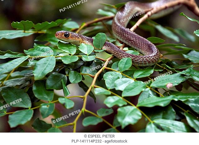 Indo-Chinese rat snake / Chinese ratsnake (Ptyas korros), colubrid snake native to Southeast Asia