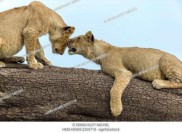 Kenya, Masai-Mara game reserve, Lion (Panthera leo), youngs playing