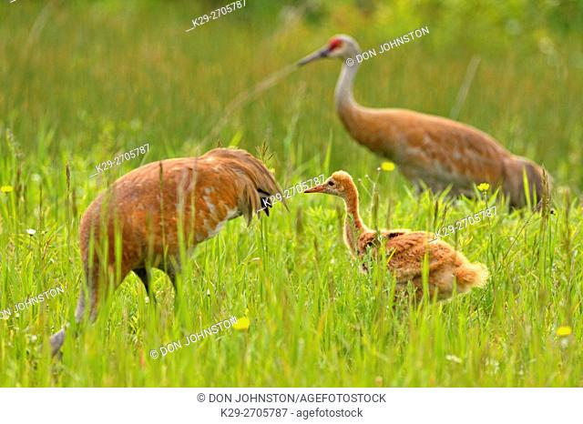 Sandhill crane (Grus Canadensis) Adult and young, Munising, Michigan, USA