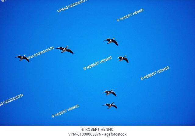 BRANTA LEUCOPSISBARNACLE GOOSEGROUP FLYING IN V FORMATION