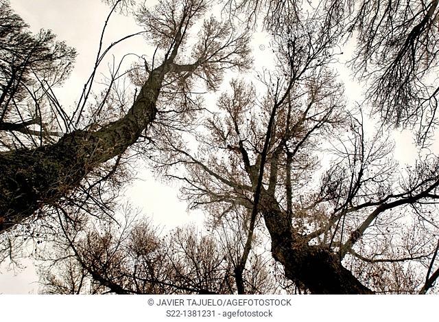 Poplar grove. White Poplars (Populus alba). Toledo province, Castile-La Mancha, Spain