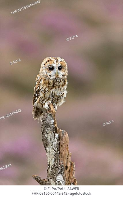 Tawny Owl (Strix aluco) adult, perched on stump, with flowering heather in background, England, August (captive)