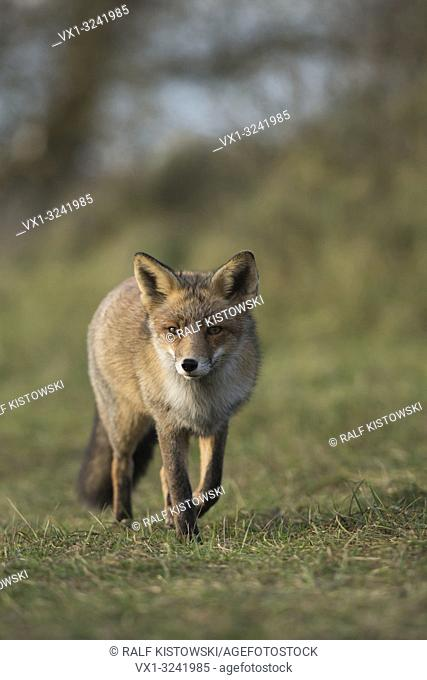 Relaxed Red Fox / Rotfuchs ( Vulpes vulpes ) walks slowly over a mowed meadow along the edge of a forest