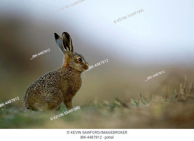 Brown hare (Lepus europaeus), juvenile leveret, Suffolk, England, United Kingdom