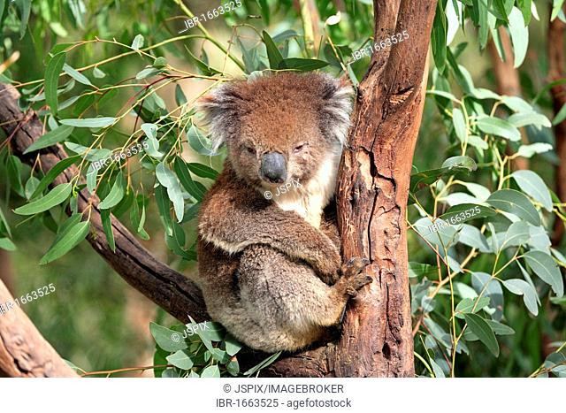 Koala (Phascolarctos cinereus), adult in tree, Australia