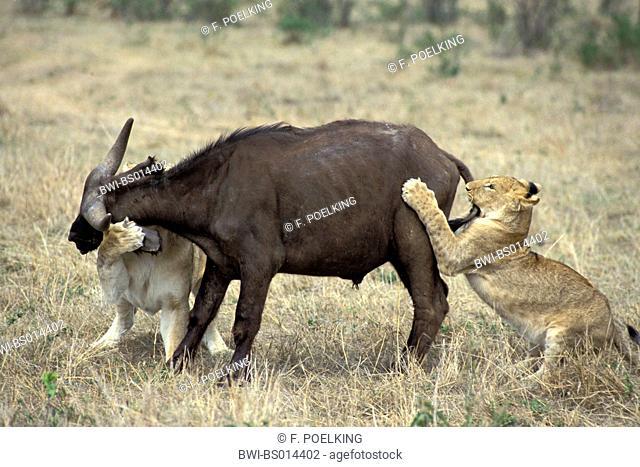 lion (Panthera leo), two lioness attacking African buffalo, Kenya