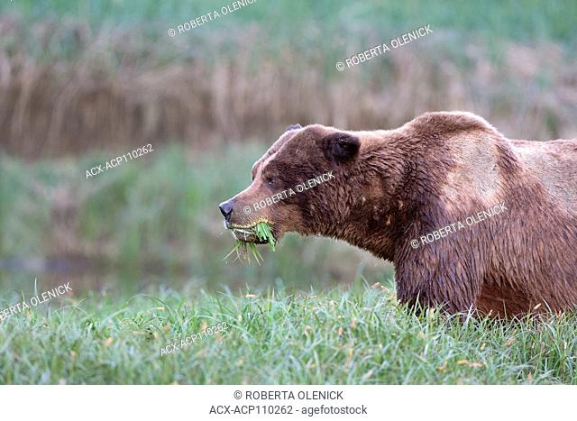 Grizzly bear (Ursus arctos horriblis), large scarred male, eating Lyngbye's sedge (Carex lyngbye), Kwinimass Estuary, British Columbia, Canada