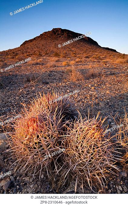 Echinocactus polycephalus (Cotton top cactus) at the foot of a hill at sunset. Pahrump, Nevada, USA