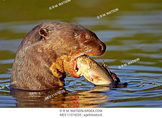 Giant Otter eating a fish Pantanal area Mato Grosso Brazil South America