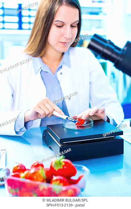 Female scientist testing strawberries in a petri dish